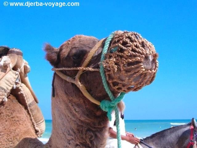 Dromadaire de Djerba Tunisie